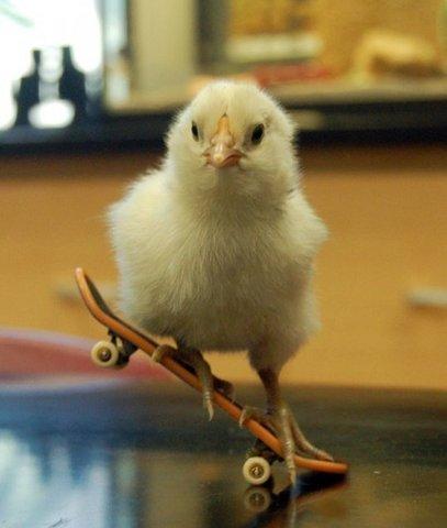 Skateboard chicken
